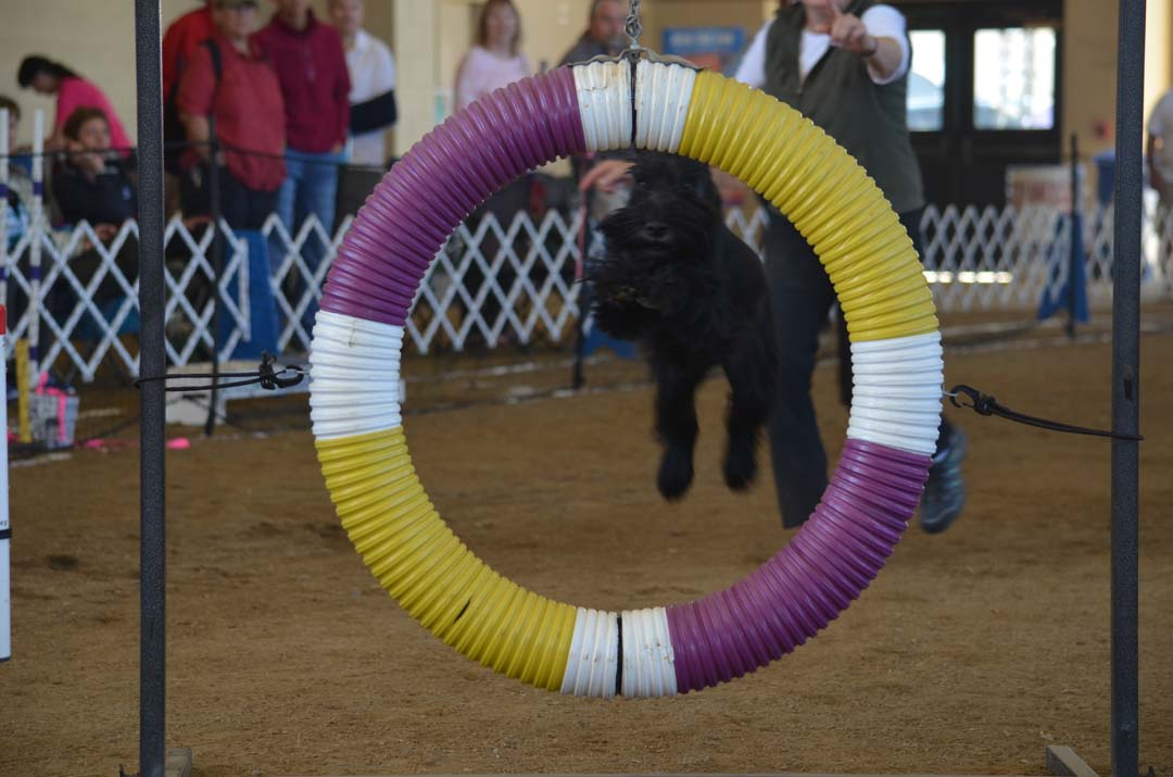 A dog leaps through a hoop on the agility course at the Del Mar Fairgrounds during the Silver Bay Kennel Club of San Diego on Saturday.  Photo by Tony Cagala