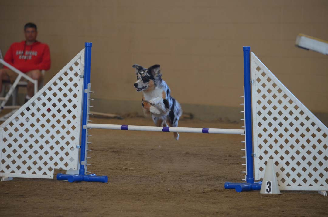 Key, a 2-year-old Australian Shepherd makes a leap over an obstacle. Photo by Tony Cagala
