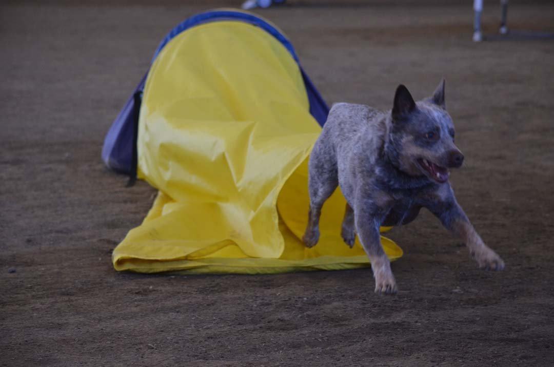 Winston, a 7-year-old rescue, bursts through a chute on the agility course. Winston is a certified therapy dog with Therapy Dogs International and is owned by Forest Hudson. Photo by Tony Cagala