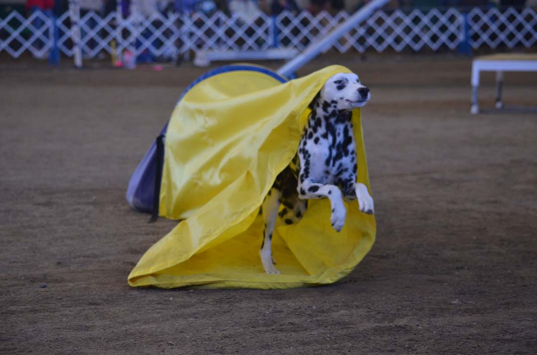 Scarlett, an 8-year-old Dalmatian, surges through the chute on Saturday on the agility course. Scarlett is owned by Gabriella Ravani. Photo by Tony Cagala
