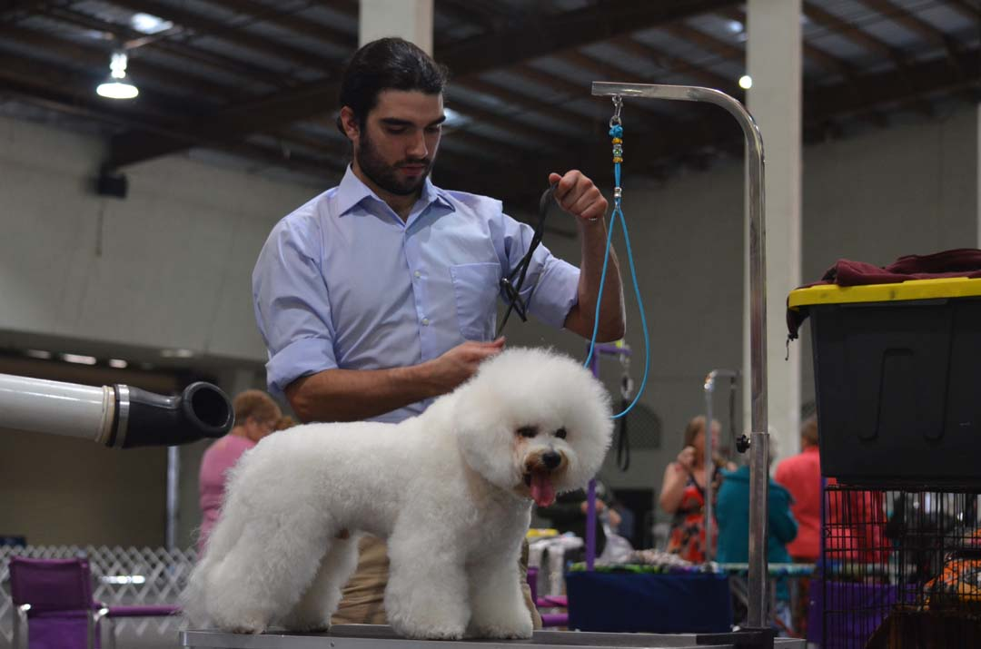 Alex Gonzales prepares Roman, a Bichon Frise, for showing on Saturday. Photo by Tony Cagala