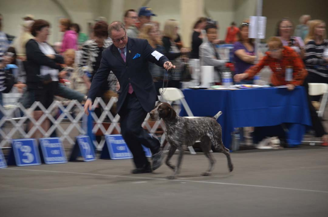 Shane Harper shows off Indie, a 4-year-old German Shorthair Pointer in the Champion round of Saturday's dog show. Photo by Tony Cagala