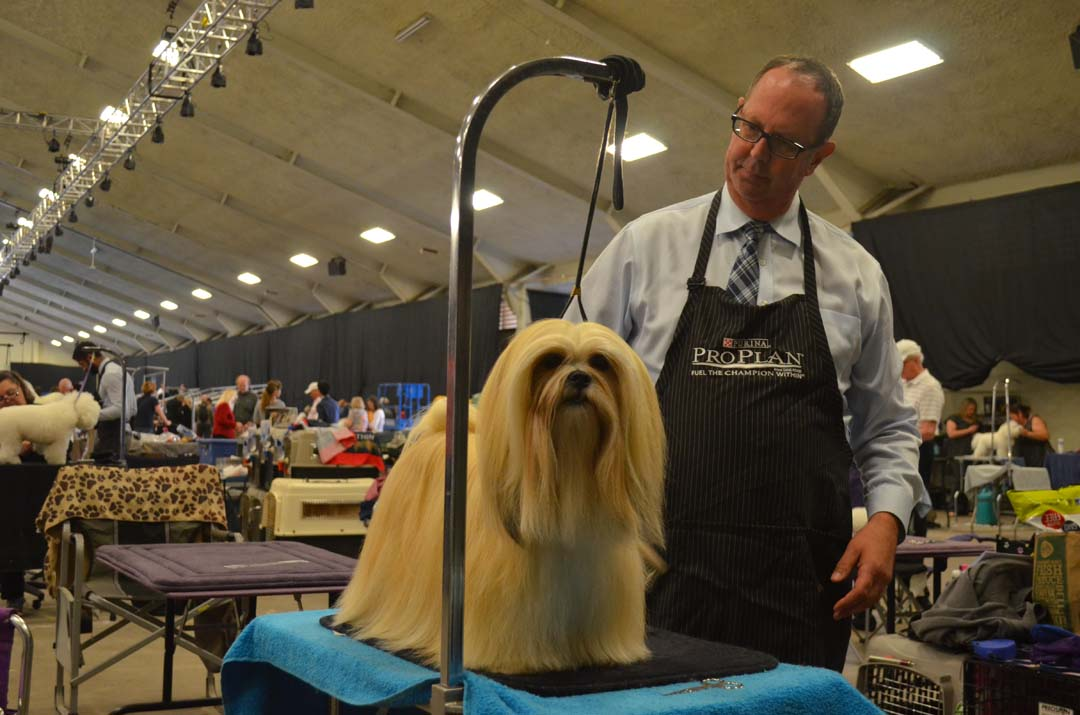 David Murray readies Penny, a 2-year-old Lhasa Apso for showing on Saturday. Photo by Tony Cagala