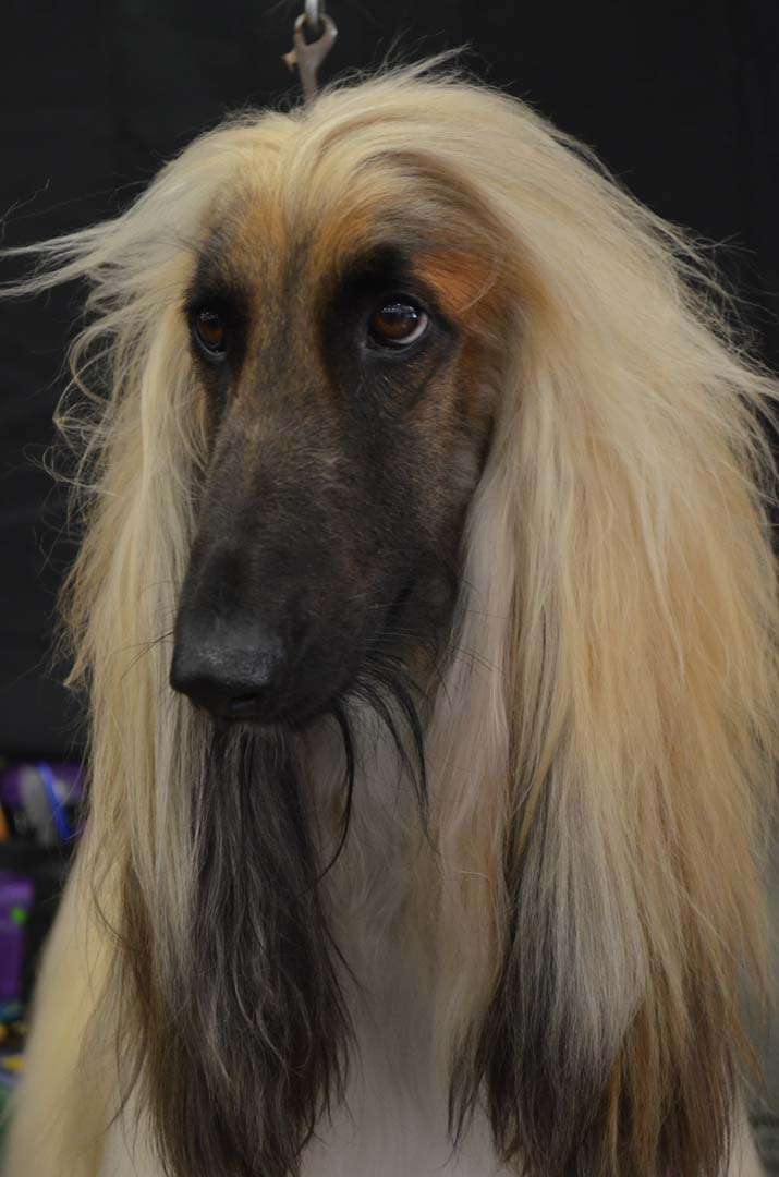 Bo, an Afghan Hound dog breed, waits for his showing. Photo by Tony Cagala