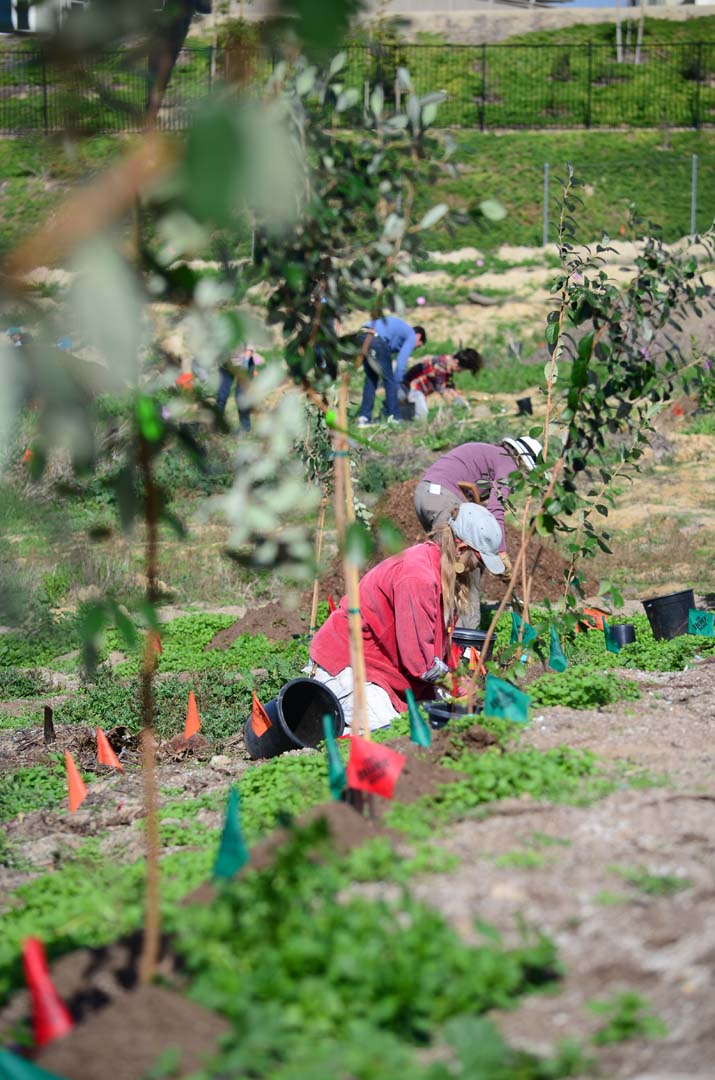 Volunteers plant trees at the Coastal Roots Farm on Jan. 24. Photo by Tony Cagala