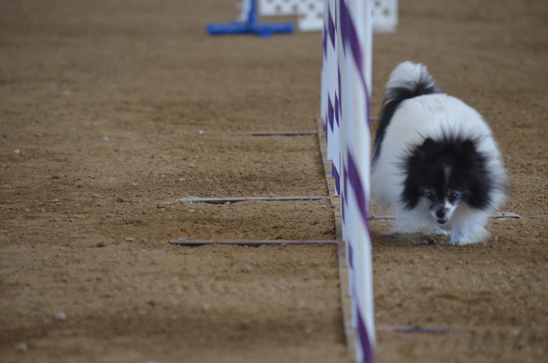 Dazzle, a Pomeranian, weaves through a series of poles on the little dog agility course on Saturday. Photo by Tony Cagala