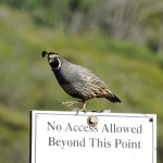A California quail, the state's official bird, seems to stand guard over an area that is closed off to visitors in Box Canyon.