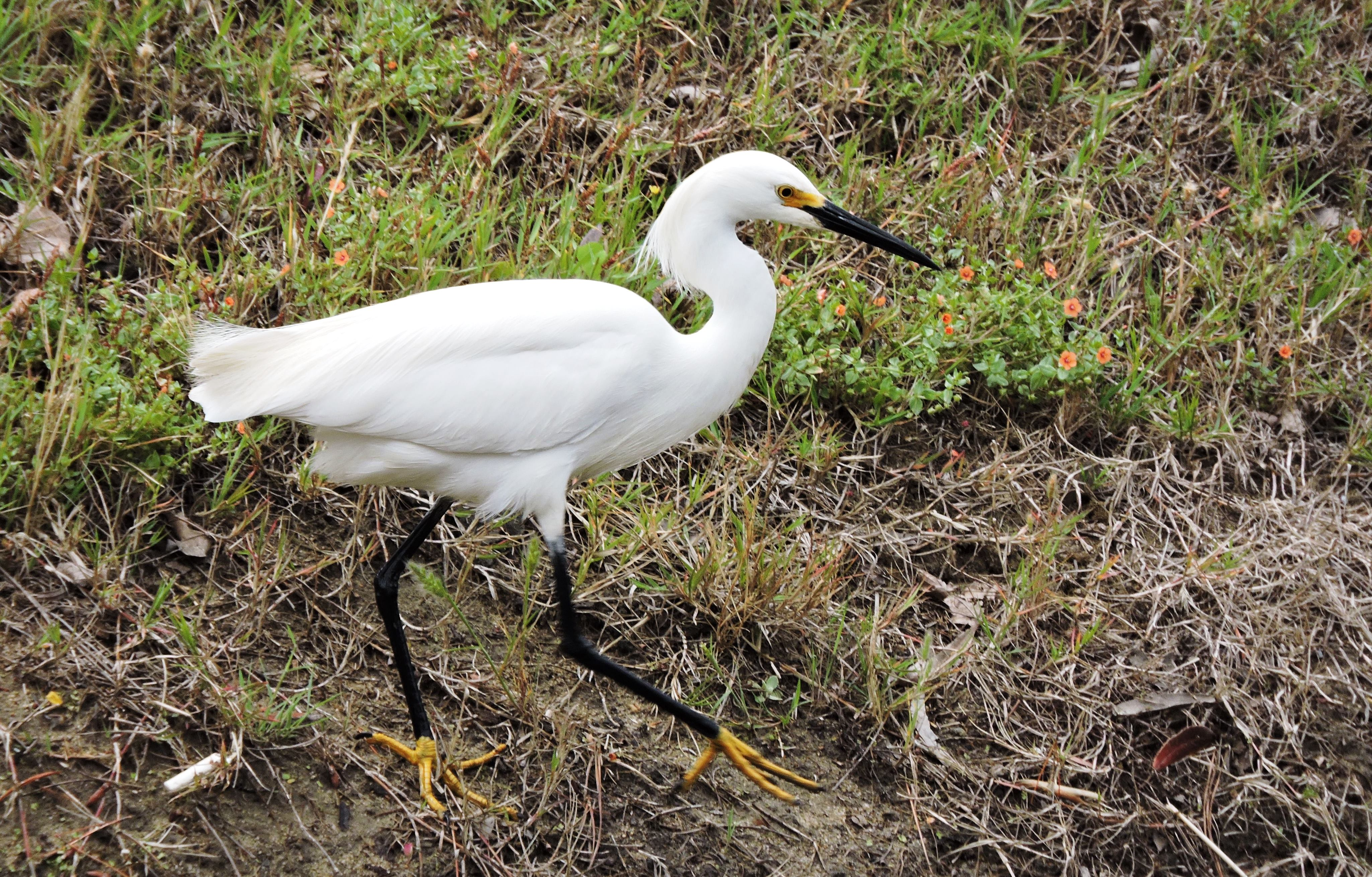 Snowy  Egret photo by Preserve Ranger Todd Nordness