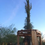 This 37-foot Boojum tree (native habitat: Baja California) is the tallest specimen in the garden's collection. It was transplanted recently from a donor's yard. The wooden structure helps support the Boojum tree while it takes root. Native belief is that touching it will cause strong winds to blow. (Photo by T.E. Lucier)