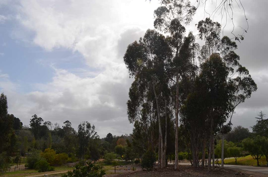 Drought, pests affecting trees in RSF