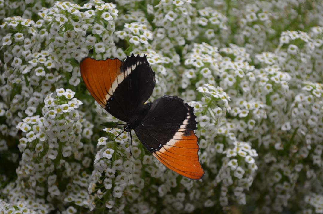 A Rusty-Tipped Page butterfly lands on flowers in the Butterfly Jungle exhibit. Photo by Tony Cagala