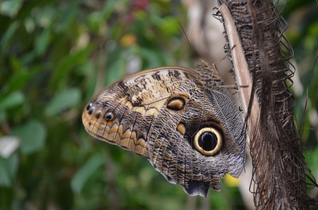 A Giant Owl butterfly is one of the 30 to 35 species at the Butterfly Jungle exhibit. Photo by Tony Cagala