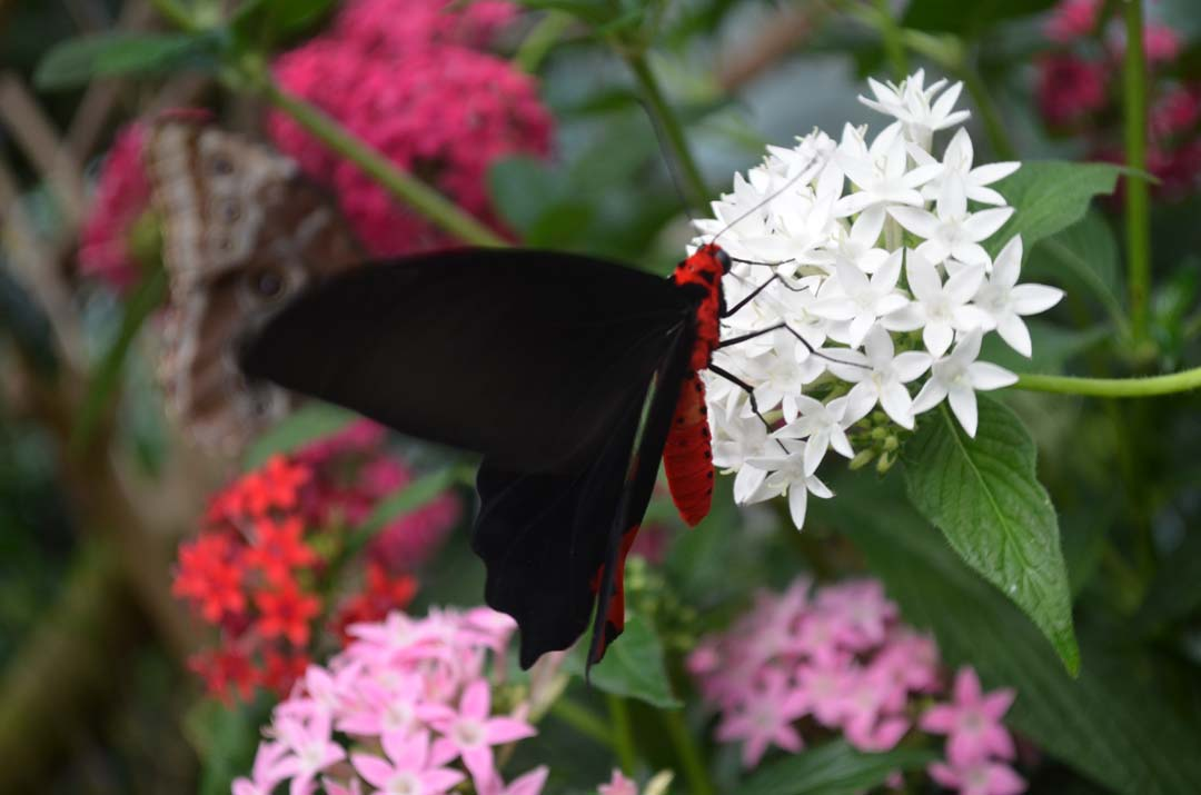 An unidentified butterfly lands on a flower. Photo by Tony Cagala