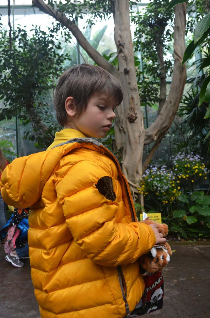 Silas Hamernik, 9, is cautious as a Common Blue Morpho butterfly lands on him. Photo by Tony Cagala