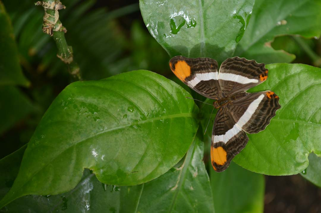 An unidentified butterfly rests on a leaf. Photo by Tony Cagala