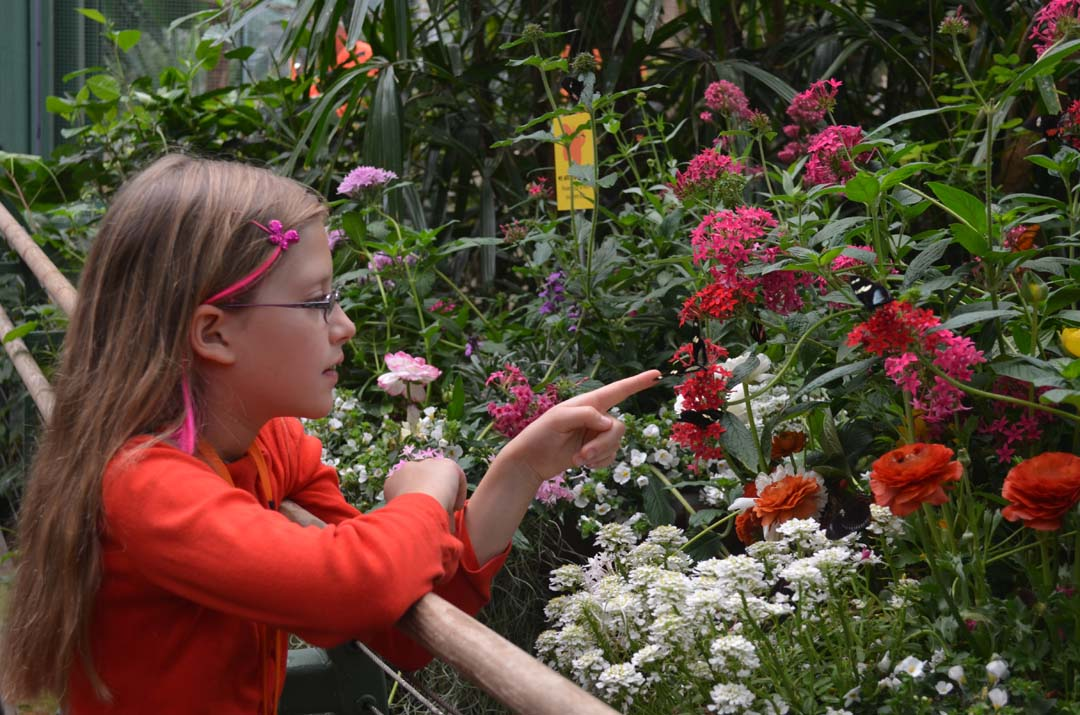 Josie Hamernik, 9, watches on as several butterfly species flitter around the flowers. Photo by Tony Cagala