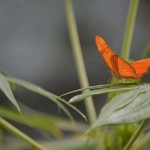 An Orange Julia butterfly on a leaf. Photo by Tony Cagala