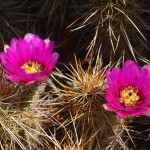A bumble bee circles a bright bloom on a cholla cactus near the visitor center.
