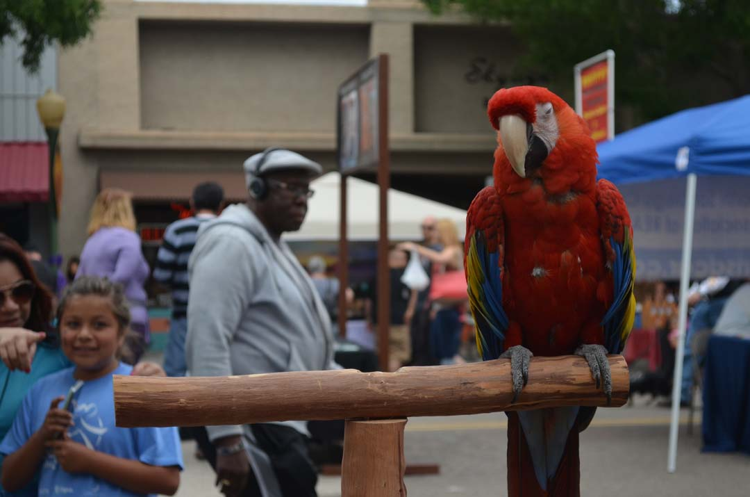 Patrons of the Escondido Grand Avenue Festival get a look at a macaw. Photo by Tony Cagala