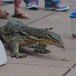An Asian Water Monitor walks the sidewalk as part of an exhibit. Photo by Tony Cagala
