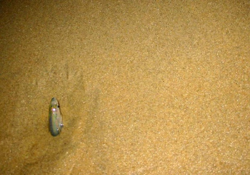 A grunion spawns on a San Diego beach. The upcoming grunion runs are expected to begin Aug. 2. Courtesy photo