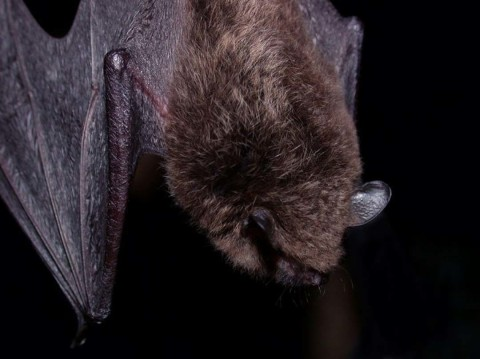 Another rabid bat found at Safari Park