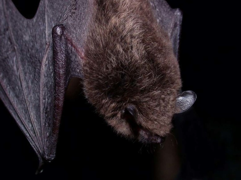 Another rabid bat is found at the San Diego Zoo Safari Park on July 10.  Photo courtesy County of San Diego