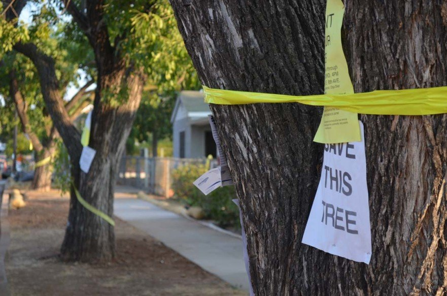 "Trees along a neighborhood on Maple Street have signs reading, ""Save this Tree,"" after the city began removing trees in the area during work on an improvement project. Photo by Tony Cagala"