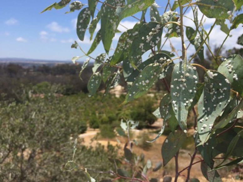 Red Gum lerp psyllids on a Red Gum Eucalyptus tree are negatively affecting the community forests in the western and central portions of the Covenant. Courtesy photo