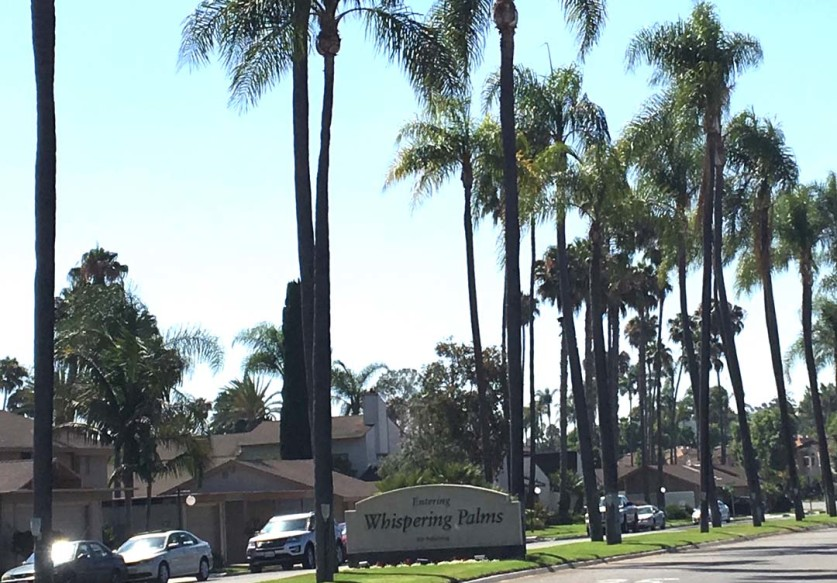 A group of community members is trying to prevent the removal of 54 queen palm trees at the entrance to the new Whispering Palms development. Courtesy photo