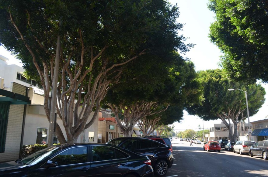 The council unanimously votes in favor of a pilot maintenance program through pruning and root maintenance for the four trees, which are located on city property between the sidewalk and curbs. File photo by Tony Cagala