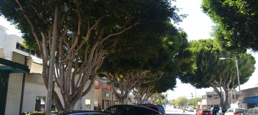 City OKs pilot for downtown ficus
