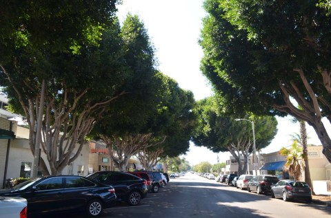 Downtown ficus trees receive another reprieve