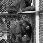 Mbongo (top) and Ngagi, both 5 years old in this photo, came to the San Diego Zoo from the Belgian Congo in 1931 - a time when there was little known about gorillas. Those who got to know them said that Ngagi, probably six months older, was more dominant. Mbongo was considered more clever and friendly. Today's resident gorillas reside in a natural landscape with waterfalls, an open meadow and climbing structures. Both Mbongo and Ngagi are memorialized with bronze sculptures that stand near the entrance of the zoo. (Courtesy photo)