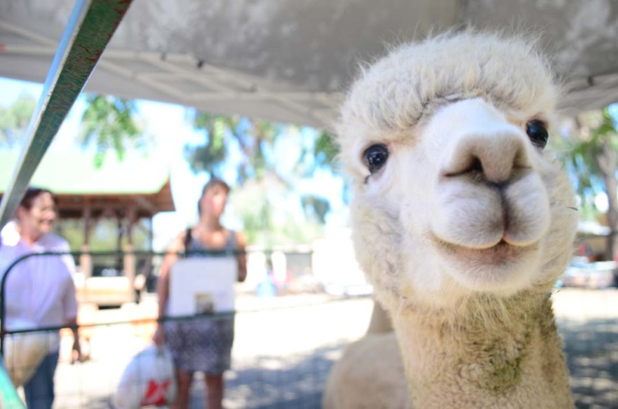 Bellagio the alpaca, from the Alpacas of Anza Valley, is a draw for enthusiasts attending the fiber arts festival. Alpaca fibers can be used to create long-lasting products. Photo by Tony Cagala