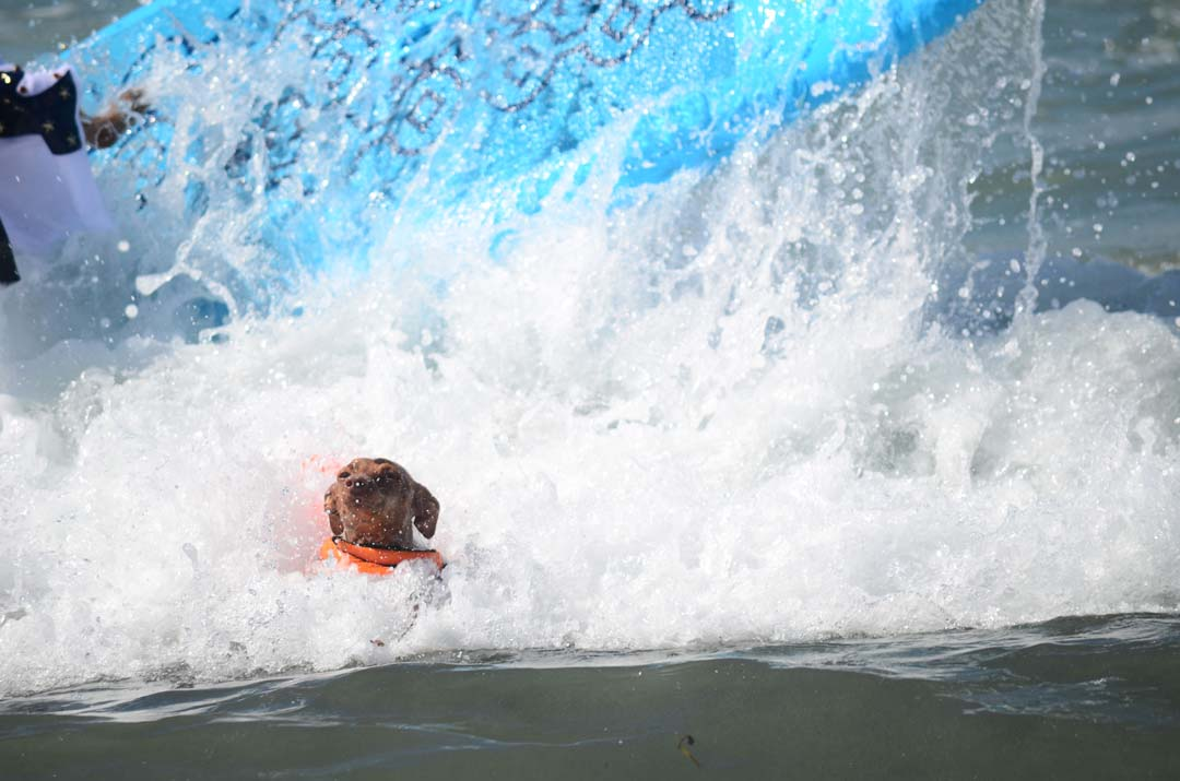 A little dog takes a spill after riding a wave. Photo by Tony Cagala