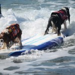 Two dogs have eyes in front and back as they ride a wave into the beach. Photo by Tony Cagala