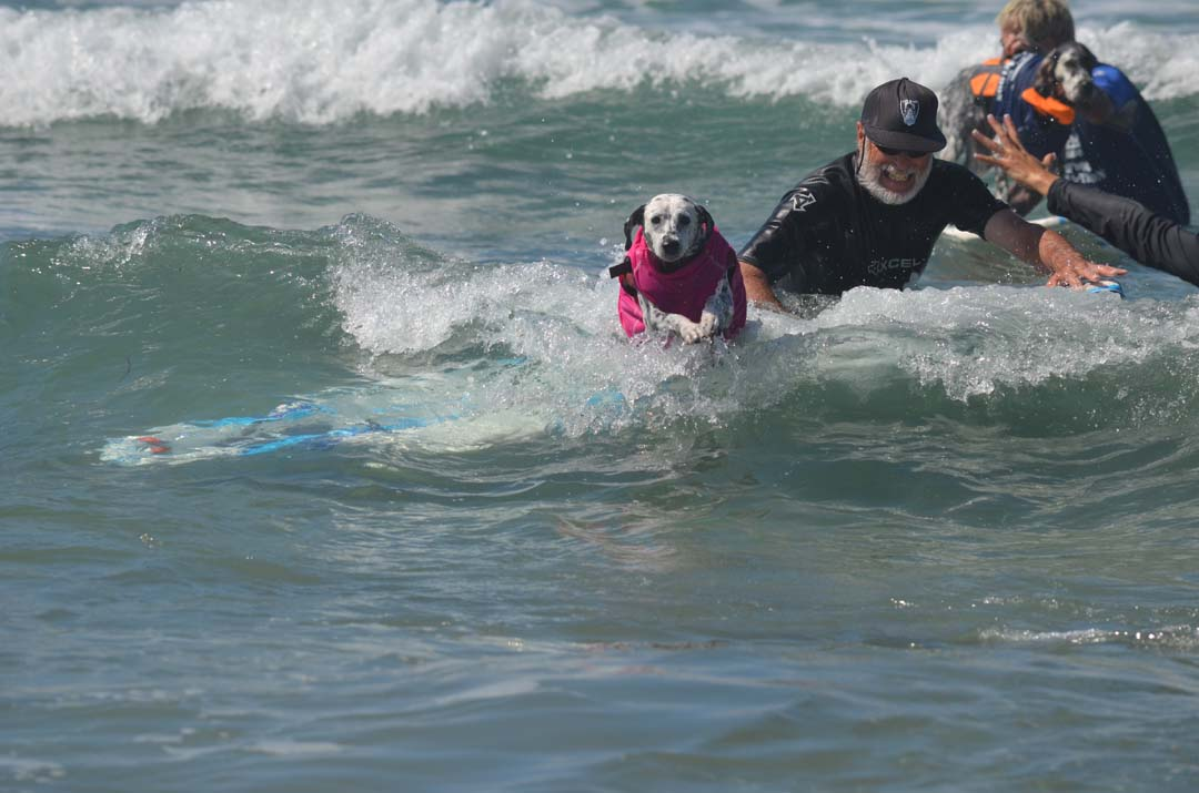 Kaylee, a Dalmatian, bails off her surfboard during the large dog surf heat. Photo by Tony Cagala