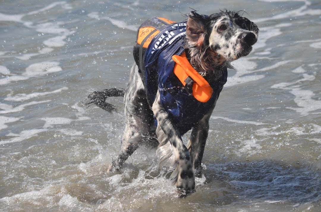 Pepper runs from the water after catching a wave. Photo by Tony Cagala