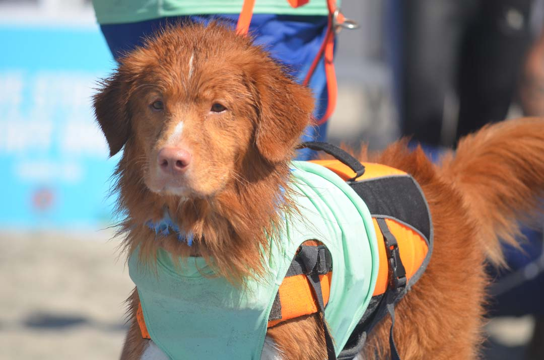 Kai, a 3-year-old Nova Scotia Duck Tolling Retriever, waits for his heat with owner and Encinitas resident April Pasko. Photo by Tony Cagala