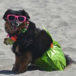 Honeybear, a 7-year-old Pomeranian beagle mix chills on the beach in her beach attire before competing in the dog costume competition. Photo by Tony Cagala