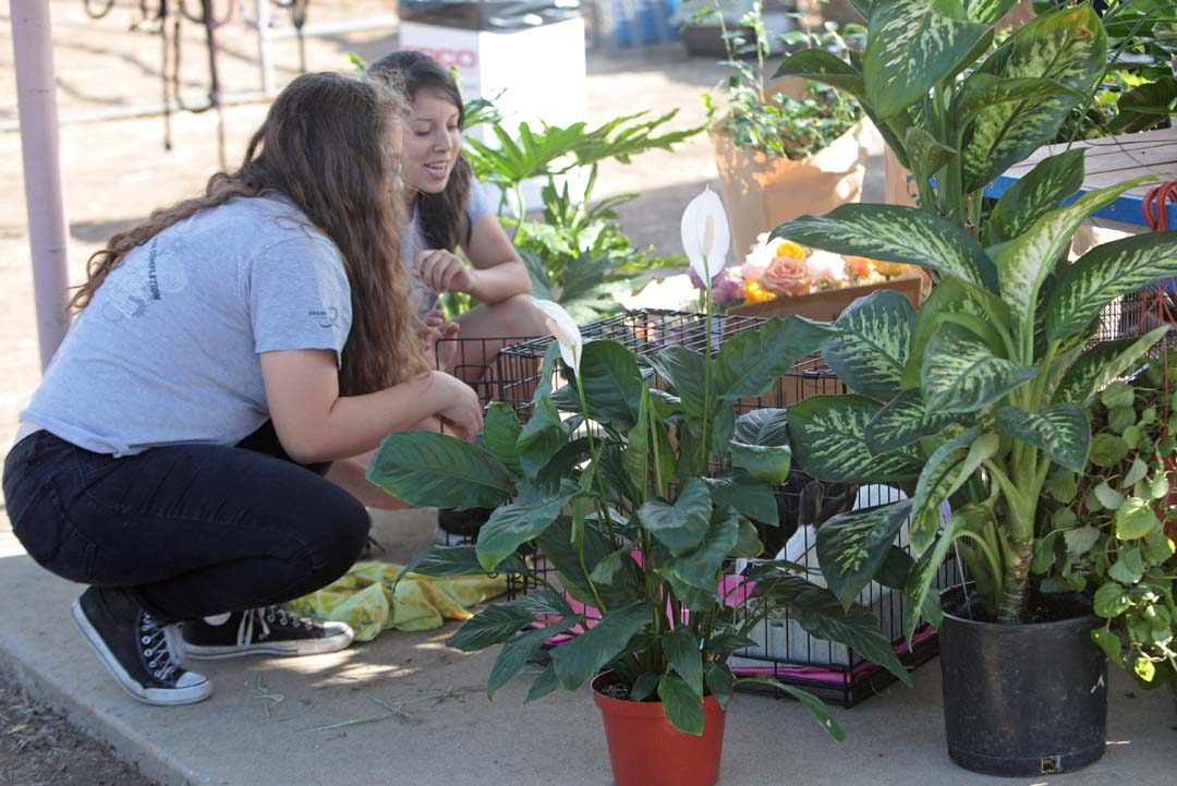 Vanessa Alvarez and her classmate Marisela Martinez, both juniors and members of the San Marcos High School Future Farmers of America organization, put the finishing touches on their plant booth. Photo by Pat Cubel