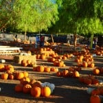 Feathery pepper trees provide shade in the pumpkin corral at Peltzer Farms in Temecula Valley. Charlie and Carrie Peltzer are fourth-generation farmers who excel at agricultural tourism. Visitors can pick pumpkins, play in the petting zoo, pan for gold and ride ponies.
