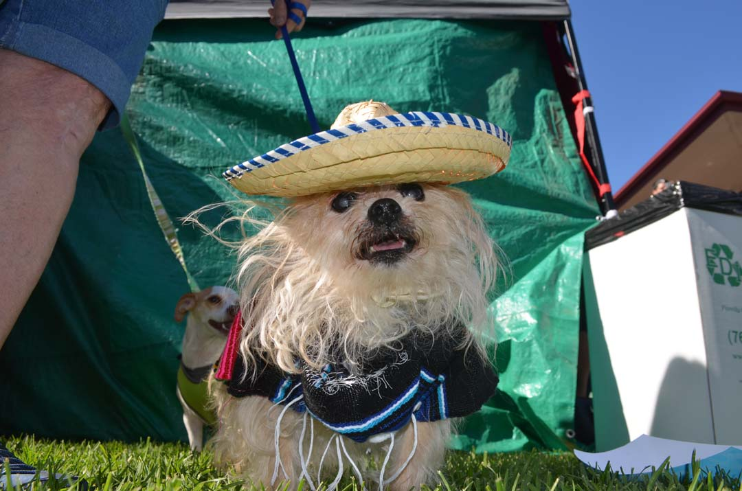 Thumper dresses in a poncho and sombrero for the Chihuahua costume contest. Photo by Tony Cagala