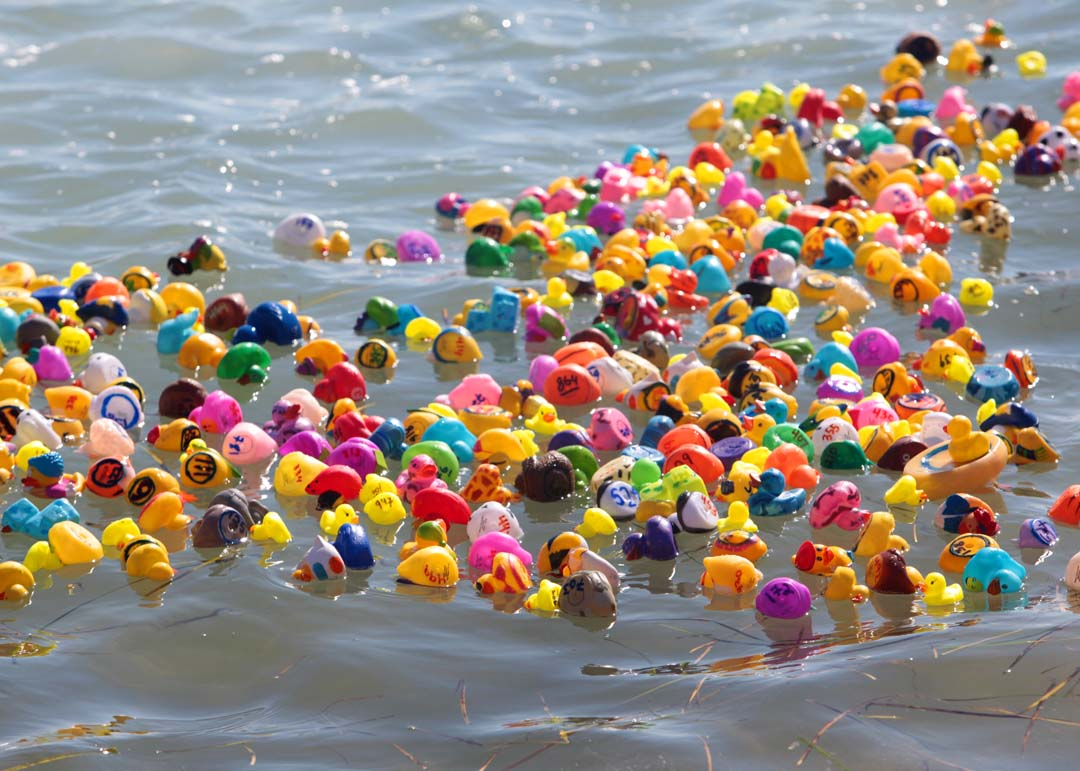 In all 119 ducks were dropped in to the lagoon and raced towards the shore. Photo by Pat Cubel