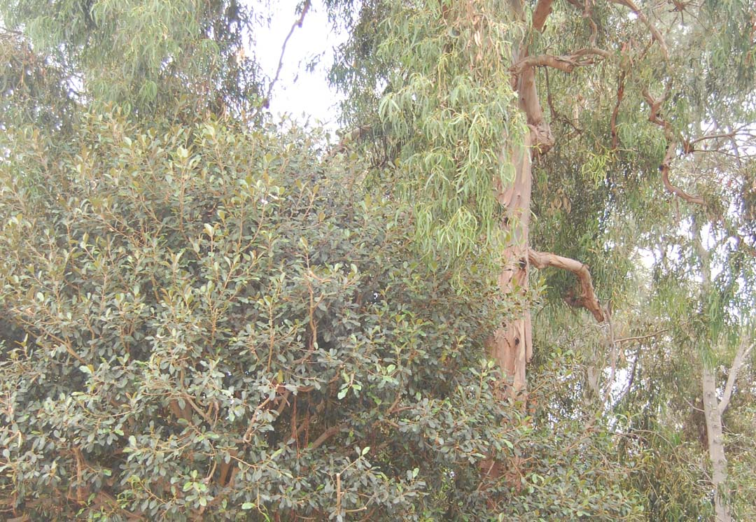 Council denies request to review ruling on eucalyptus trees