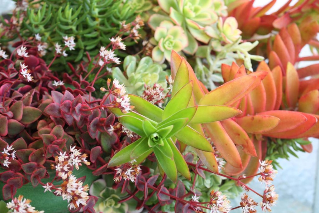 "Colorful succulents include variegated Aeoniums (upper right), Crassula 'Calico Kitten' (lower left) and Crassula 'Campfire'. From Debra Lee Baldwin's book ""Succulents Simplified."" Photo by Debra Lee Baldwin"