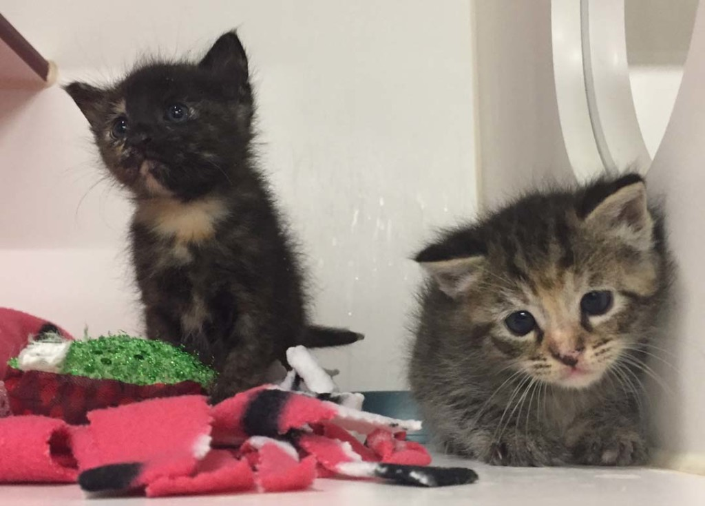 A pair of kittens awaiting care. The Humane Society recommends fostering in pairs, so kittens can have companionship and socialization. Photo by Adam Sullivan