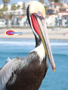 Charlie the Pelican, usually perched near the Oceanside Pier, is the official mascot for the June Art Walk event theme.