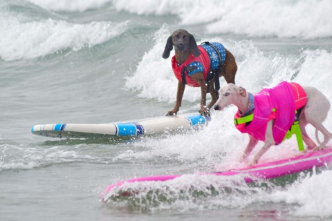 Surf Dog Surf-A-Thon Dog ready to make a splash